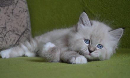 Котенок Невский маскарадный из питомника View Angel