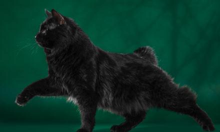 Кот на вязку — CAC, Baloo Kotomirus (Курильский бобтейл)