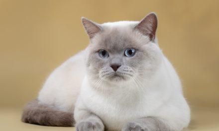 Кот на вязку — Marcus Shanto-Aleksandrit (BRI c 33)