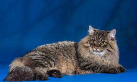 Кот на вязку — Ch. Артемий (SIB)