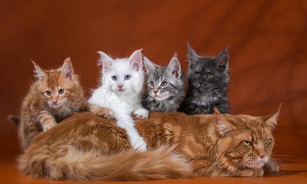 Питомник кошек породы Мейн-Кун «ENIGMA SPIRIT» — ЗАГАДКА ДУХА