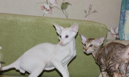 Котята породы Peterbald