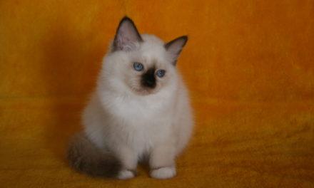 Котята породы «Священная бирма» из питомника «CharmingPoint»