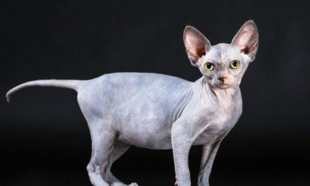 Tomanikas (Sphynx cat)