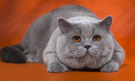 Кот на вязку — Elliot Naitan (BRI a)