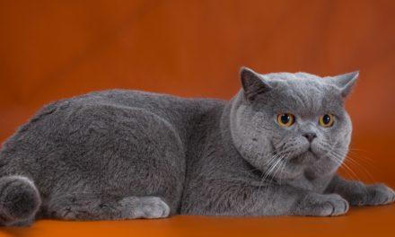 Кот на вязку — Patrik (BRI a)