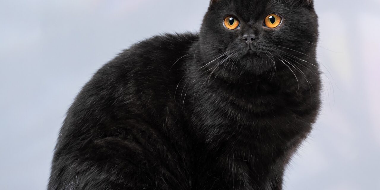 Британские котята из питомника Just Enjoy