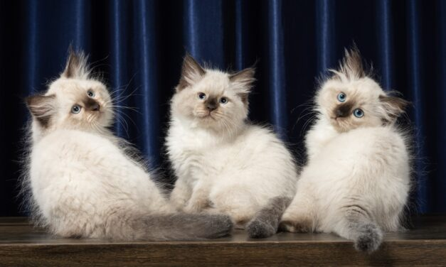 Невские маскарадные котята из питомника Nevaneko