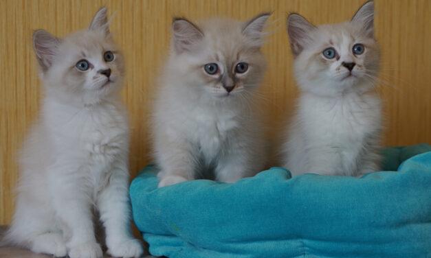 Сибирские котята из питомника Biryuza