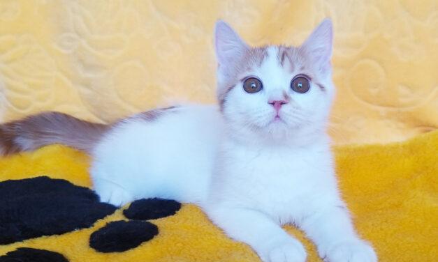 Шотландский котенок из питомника Milagro de Siberia