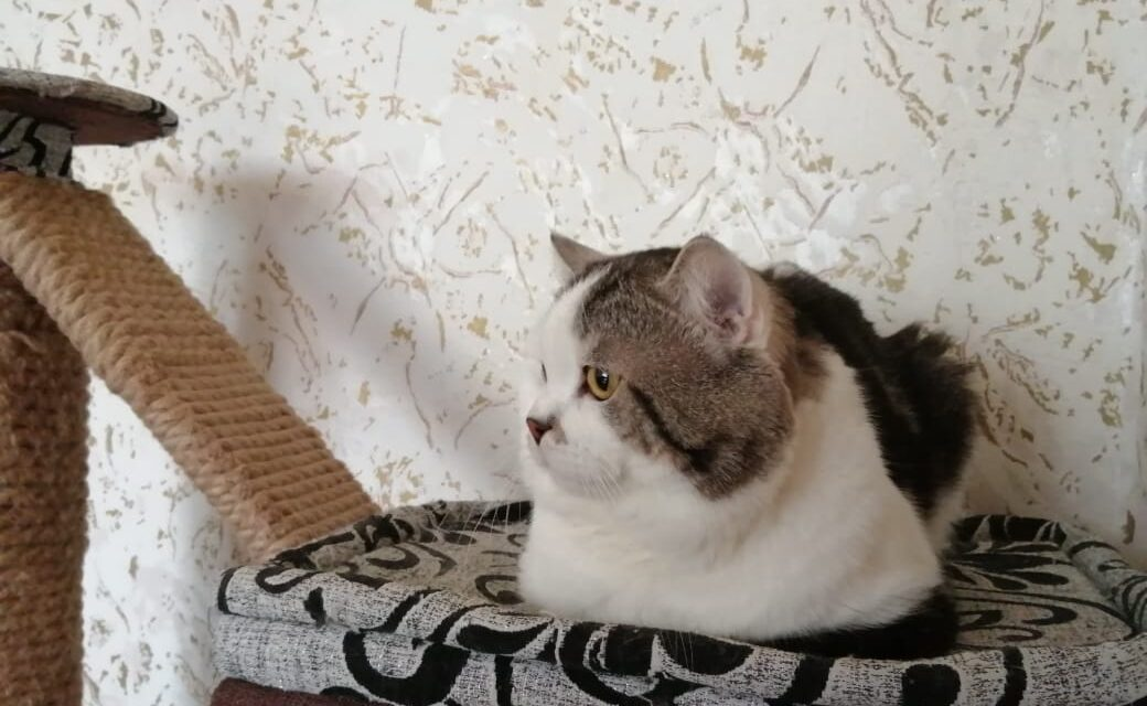Кот на вязку — Каспер (SFS 71 ns 22 03, Шотландский, Скоттиш Страйт)