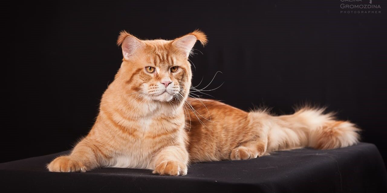 Кот на вязку — CHE Country Gold Ehan (MCO, d 24 09)