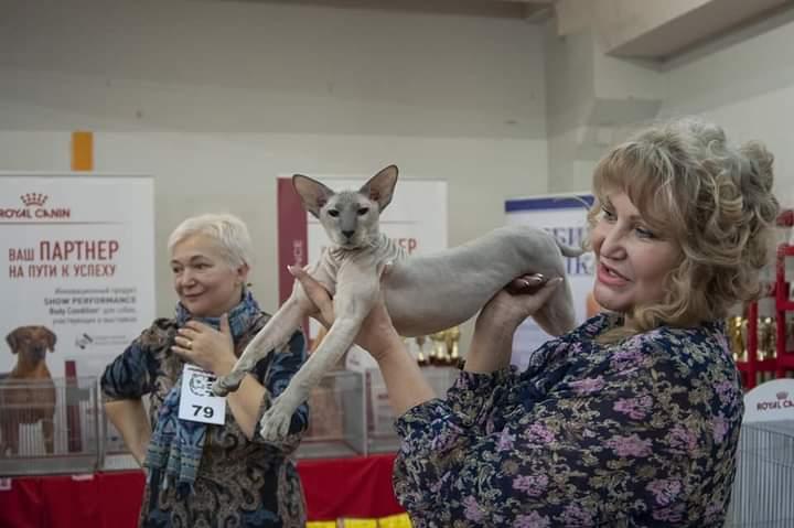 Кот на вязку — Gi.Ch. Miron Kotomirus (PBD a 33)