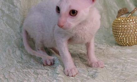 Котята породы Корниш-рекс из питомника Vague Royale