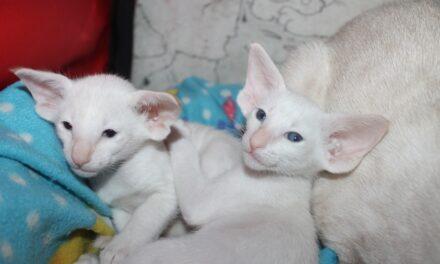 Сиамские и ориентальные котята из питомника Zodiacal Light