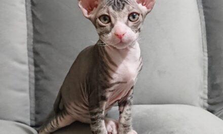Котёнок Донского сфинкса