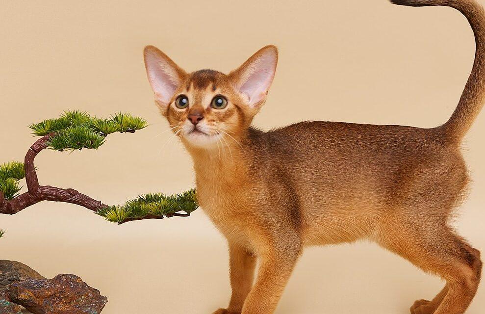 Абиссинские котята из питомника Vita tesoro