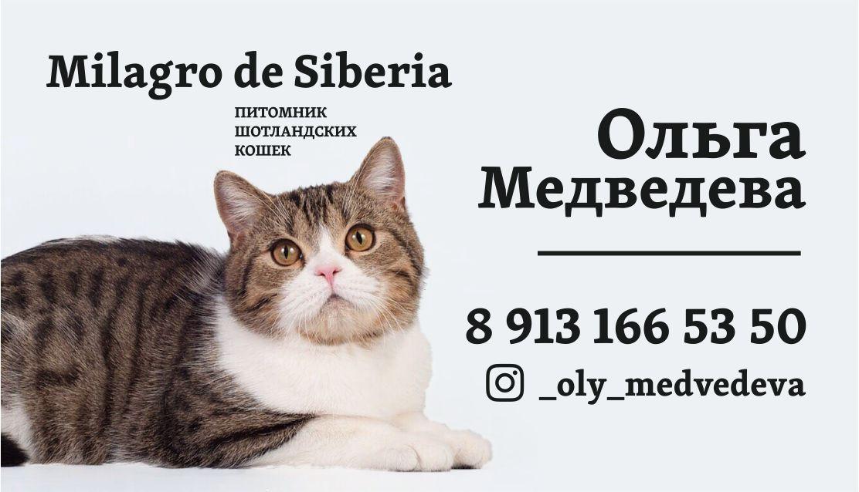 Питомник кошек шотландской породы Milagro de Siberia