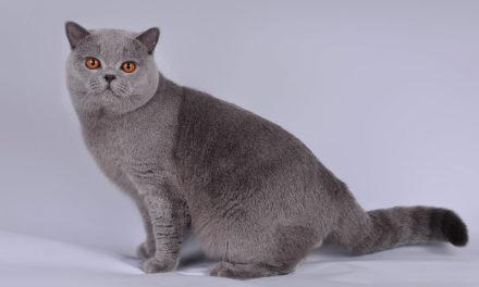 Питомник британских кошек — «Templ оf Soul»