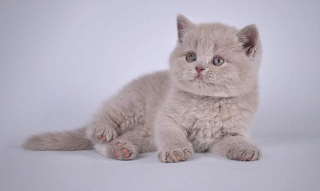 Британские котята из питомника «Templ of Soul»